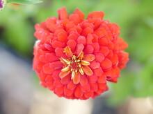 Red Star Flower.