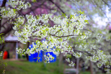 White Flower Of Prunus Cerasoides (wild Himalayan Cherry) Are Blooming