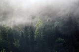 Fototapeta  - Wierzchołki drzew las we mgle