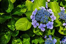 Blue Hydrangea Flowers In Hamarikyu Garden