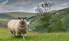 Sheep And Lamb In The Yorkshire Dales In Summer