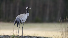Crane Overlooking A Field With Soft Bokeh.