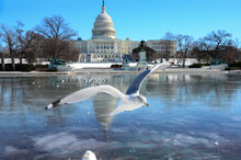 U.S. Capitol Building In Winter With Gulls In Reflection Pool - Washington DC, USA