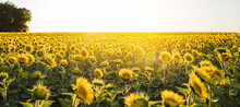 Beautiful Panoramic View Of A Field Of Sunflowers In The Light Of The Setting Sun..Yellow Sunflower Close Up. Beautiful Summer Landscape With Sunset And Flowering Meadow Rich Harvest Concept...