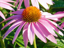 Pink Flower. Echinacea Flower Close-up.