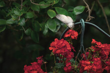 Small White Bird Perches On Hanging Basket Of Red Begonias