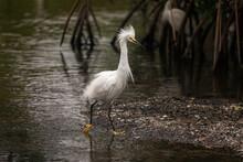 Snowy Egret Florida Wading Bird Struts As He Walks Confidently