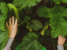 Girl's Hands Open Leaves In A Bush Of A Vegetable Marrow In A Garden