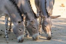 Somali Wild Ass (Equus Asinus Somalicus)