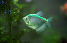 The Colorful Aquarium Fish Black Tetra (Gymnocorymbus Ternetzi)