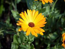 View Of Pot Marigold (Calendula Officinalis) Flower