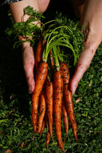 Bundle Of Fresh Carrots In Hand Against Grass Background
