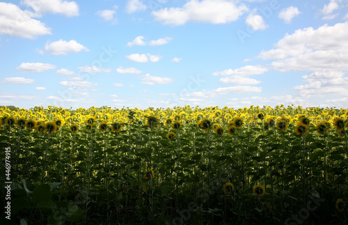Fotografia, Obraz Behind of sunflowers, they turn themselves to the direction where temple is located