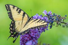 Yellow Swallowtail Butterfly On Purple Flower Of Butterfly Bush In Garden