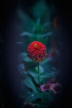 Abstract Red Flower, Zinnia Flower In The Garden