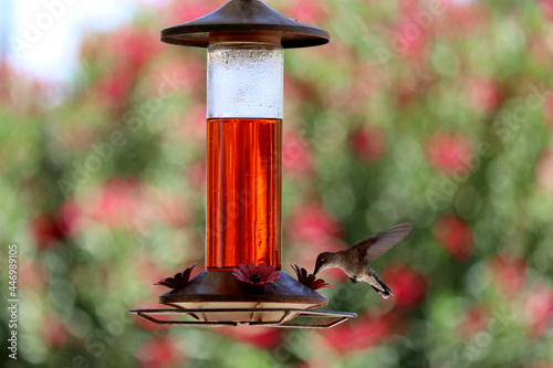 Fototapeta premium Close up of hummingbird drinking on a feeder with blurred background
