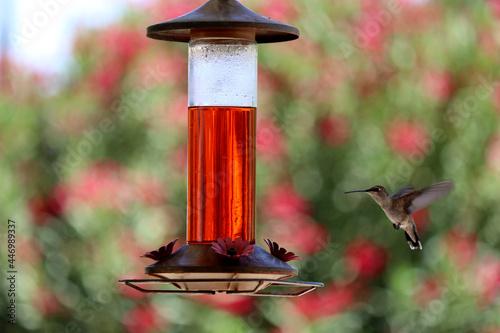 Fototapeta premium Close up of hummingbird near feeder with blurred background