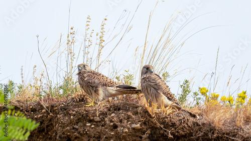 Canvas-taulu bird, natur, tier, wild lebende tiere, falco, adler, greifvogel, schnabel, ast,