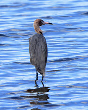 Reddish Egret Standing In Shallow Blue Water ... Back View