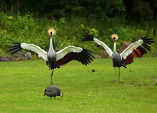 Two Grey Crowned Cranes (Balearica Regulorum), Also Known As The African Crowned Crane, Golden Crested Crane, On The Greaan Grass With Open Wings.