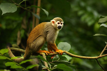 The Term Common Squirrel Monkey (Saimiri Sciureus) Sitting On The Green Branch. Green Trees In The Background.