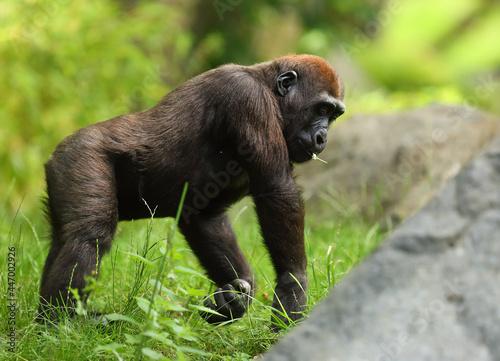 Obraz na płótnie The western lowland gorilla (Gorilla gorilla gorilla) baby staying in the green grass