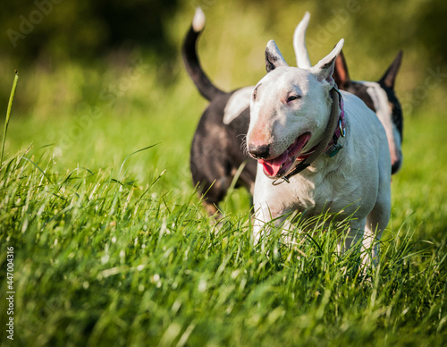 Fotografering Closeup of bull terriers playing outdoors during daylight