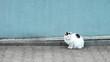 biały kot z czarną plamką siedzący na tle niebieskiej ściany