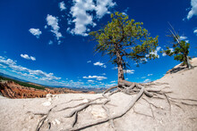 Tree With Roots Over The Rocks Of Bryce Canyon On A Beautiful Sunny Day.