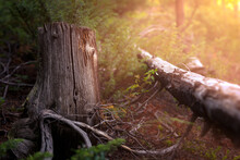 Fallen Tree In The Forest Next To A Tree Stump. There Is Sunlight Filtering Onto The Forest Floor.