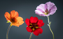 Three Flowers In Studio Including A Hardy Geranium All Backlit