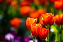 Orange Tulip Flower In Spring Colorful Garden