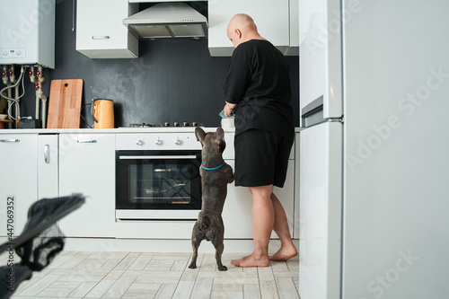Fotografie, Tablou French bulldog standing on his hind legs and asking for a food