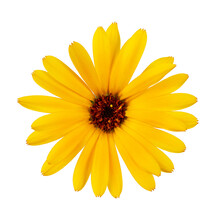 Flowers Of Orange And Yellow Calendula Officinalis, Isolate On A White Background