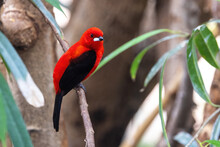 An Adult Male Brazilian Tanager, Ramphocelus Bresilius, Perched On A Branch. This Bright And Colourful Species Is Endemic To Brazil And Argentina.