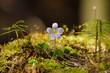 las, kwiatek siewki, wiosna