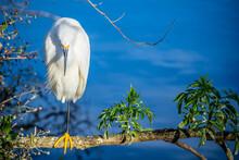 A Snowy White Egret In Orlando, Florida