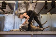Young Shearer Shearing A Sheep On A Raised Board