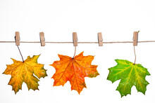Autumn Maple Leaves Hang On Clothespins, Isolate On White, Autumn Background, Blank For Design,