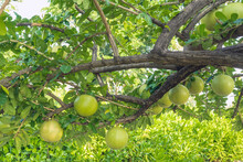 Cerbera Odollam Or Suicide Fruits On Tree Is A Thai Herbs With Properties Is Peel Used To Laxative, Flower Treat Of Hemorrhoid. Pong Pong, Indian Suicide Tree, Fruit Of Gray Milkwood. Selective Focus.