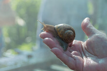 A Large Snail Helix Aspersa Maxima In The Hand Of A Farmer On A Snail Farm. Breeding Edible Snails. Business.