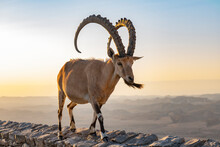 Male Ibex Walking On The Rim Of The Ramon Crater At Sunrise With The Negev Desert In The Background