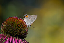 Gray Hairstreak Feeding On Echinacea Flower.  The Butterfly Is A Member Of The Gossamer-winged Butterflies And Is The Second-largest Family Of Butterflies. It Is One Of The Most Common Hairstreaks.