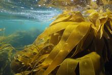 Laminaria Kelp Brown Algae Seaweeds Underwater In The Ocean, Atlantic, Spain, Galicia