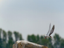 Selective Focus Shot Of A Sternidae Bird Flying Off A Rock