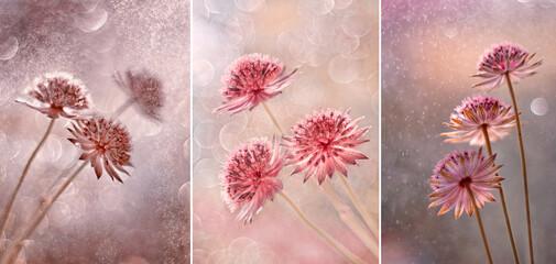Kwiaty Astrantia