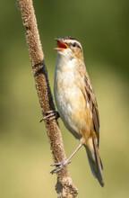 Sedge Warbler Calls
