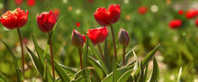 Simple Blurred Background - Red Tulips And Green Leaves