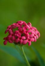 The Red Santan (jungle Geranium)