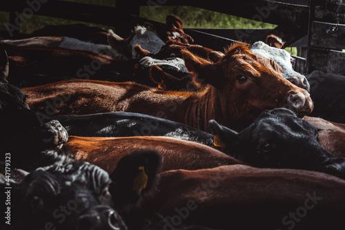 Obraz na plátne Rebanho de vacas